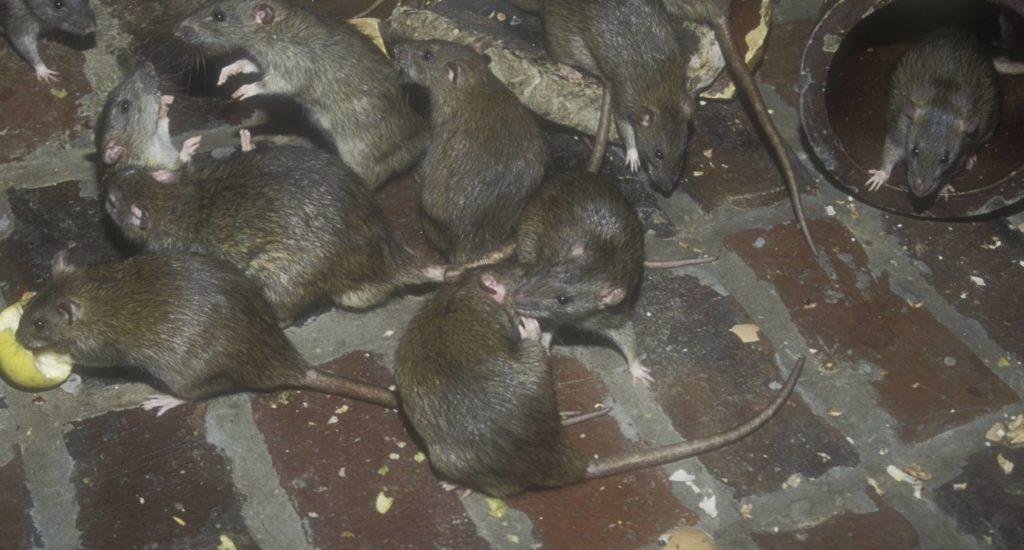 уничтожение крыс в Темрюке